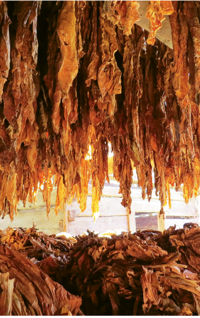 Genevieve Burda, Burley tobacco hangs in an old Shelton Laurel barn in Madison County. Amateur category