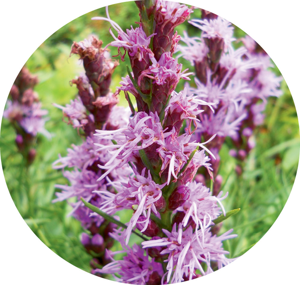 Rare Beauty: A threatened species, Heller's  Blazing Star is found in only five WNC counties, including Avery, home to Linville Falls.