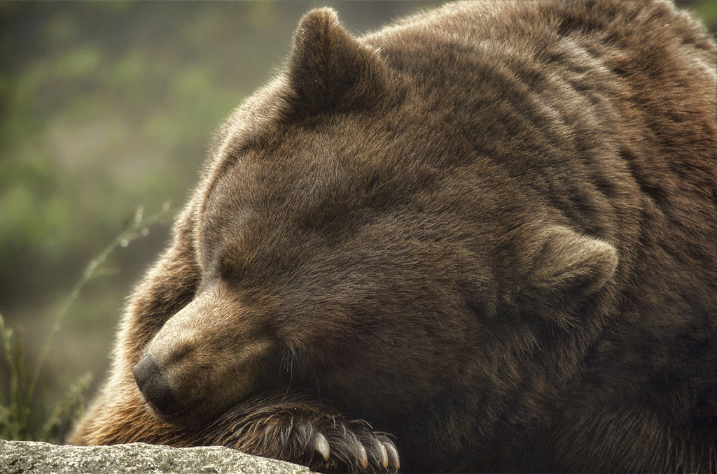 Honorable Mention: Lazy Bear by Karen Peron (Amateur category)