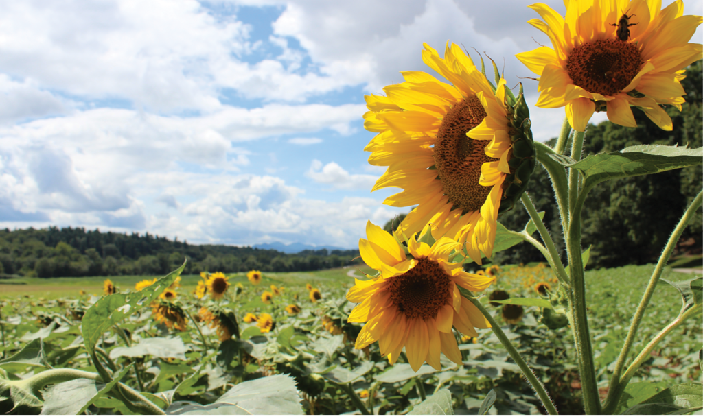 Kathryn Sizemore, A field of sunflowers at the Biltmore Estate Amateur category