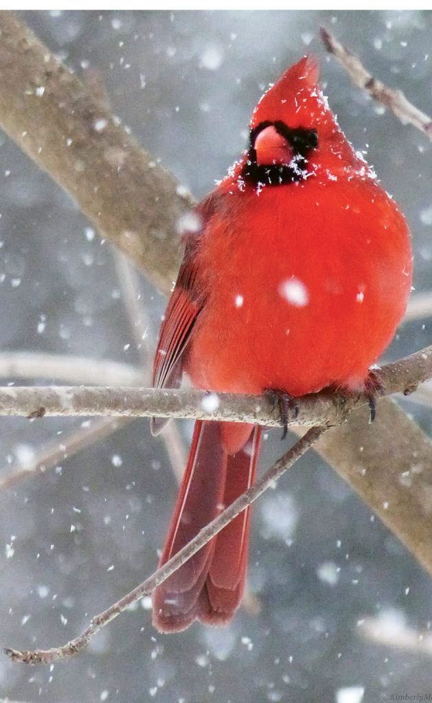 Kimberly H. Maxwell, A male cardinal takes  a break from the bird feeder during a February snowfall.  Amateur category