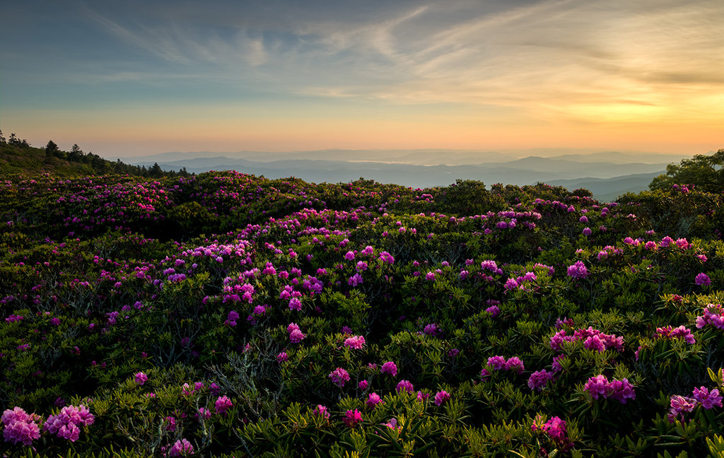 Honorable Mention: Rhododendron Dream by Matt Williams (Professional category)