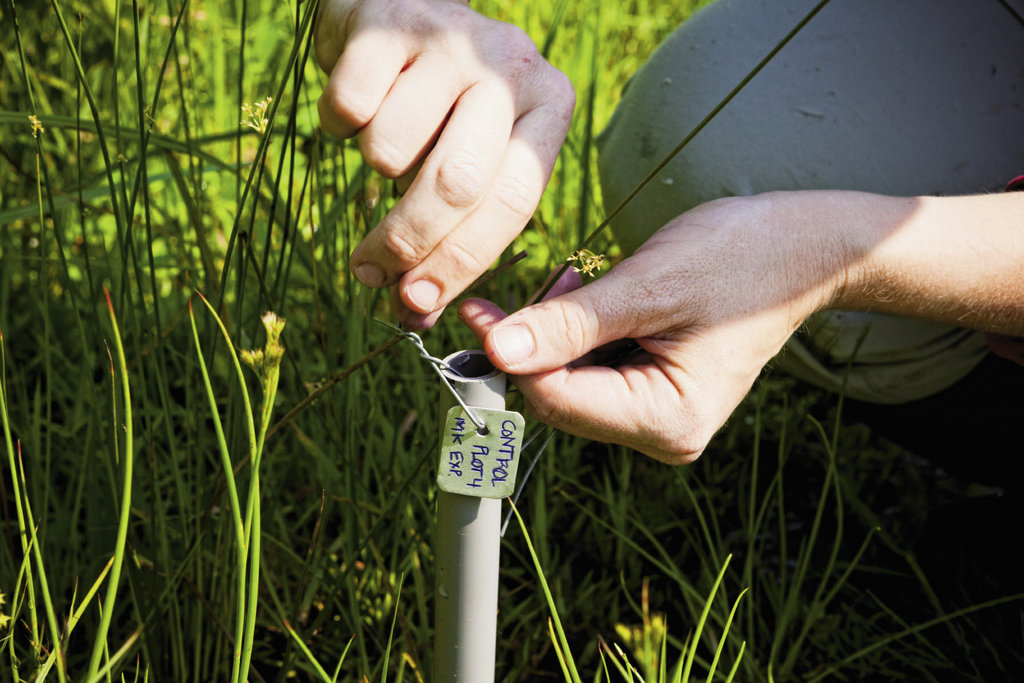A marker denotes a control plot that is part of an experiment to eradicate the invasive marsh dewflower.