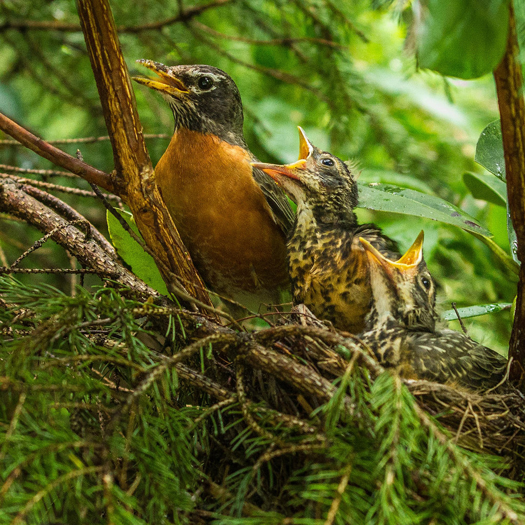 Honorable Mention: Robin Family Nest by Mitzi Gellman (Amateur category)