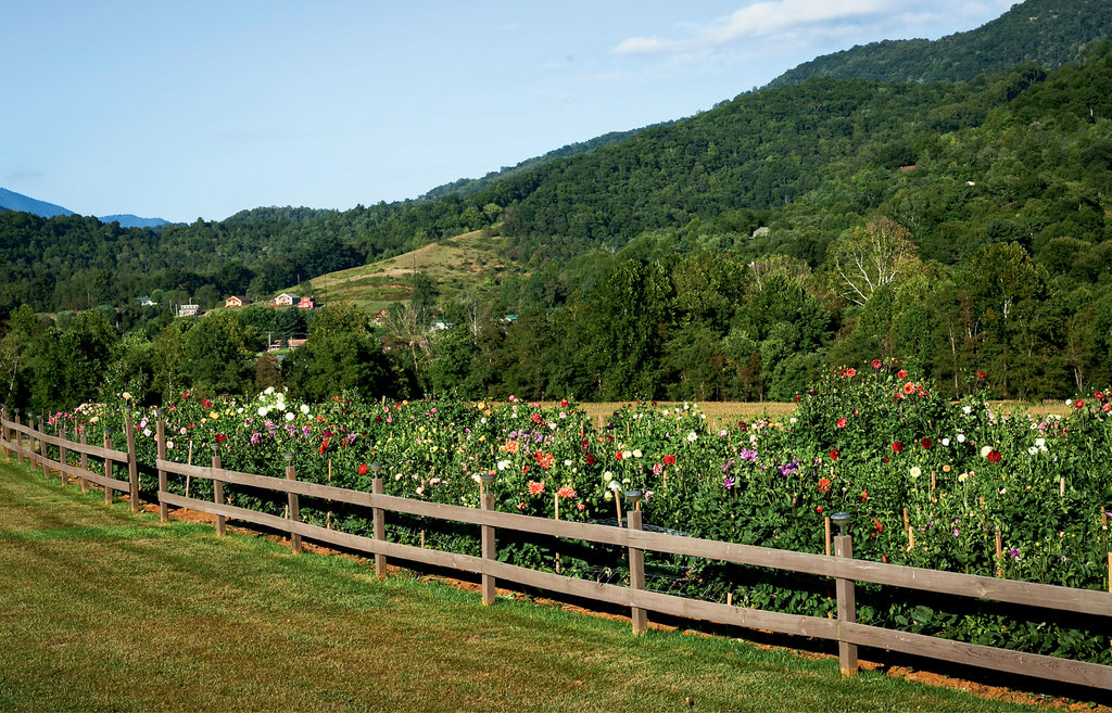 Leatherwood grows 1,100 dahlias on four-tenths of an acre in Maggie Valley and uses a drip irrigation system to ensure they receive plenty of water and nourishment.