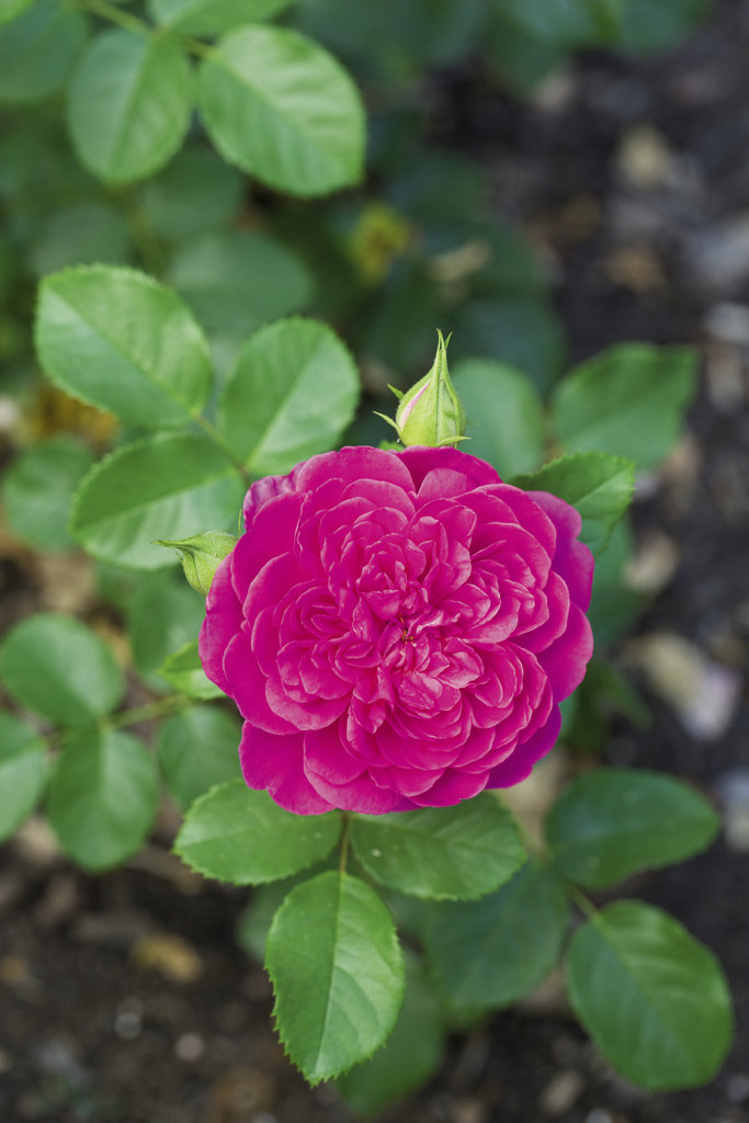 Bee Happy Sustainably grown roses will attract pollinators to your garden.