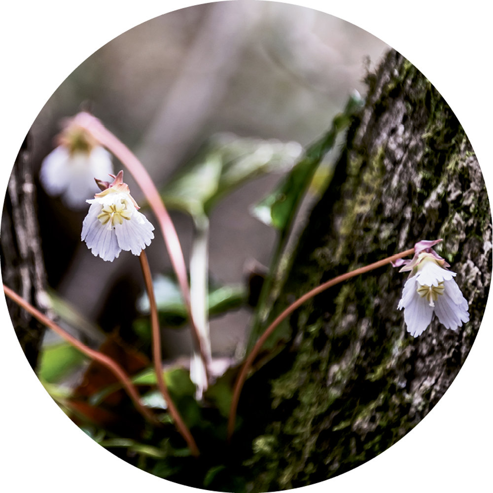 Floral Encounters: The rare Oconee Bell was first  discovered in WNC in 1788 by French botanist André Michaux.