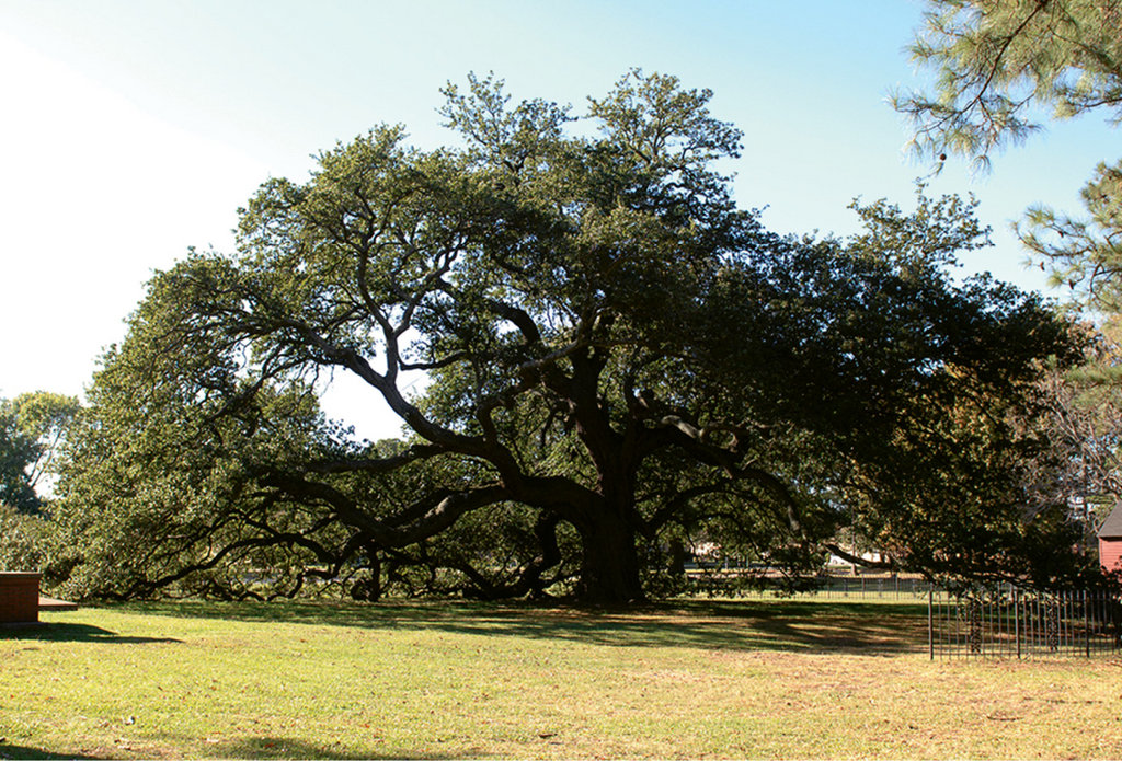 Hallowed Ground: The Emancipation Oak, where the famous proclamation was first read aloud in the South, is designated as one of the 10 Great Trees of the World by National Geographic Society.