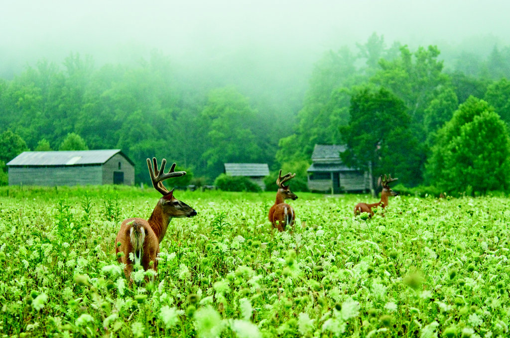 Handsome Trio Deer roam the fields once cleared for farming by homesteaders in the early 1800s.