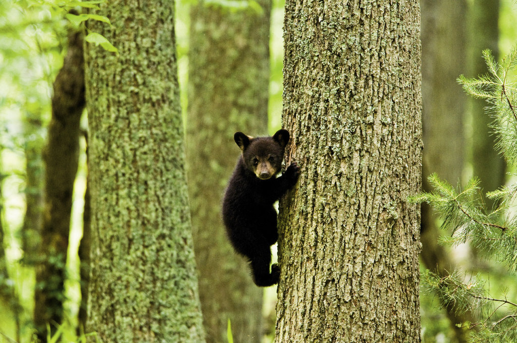 on the climb An estimated 1,500 black bears live in the national park. Shults looks forward to seeing the new cubs each spring.