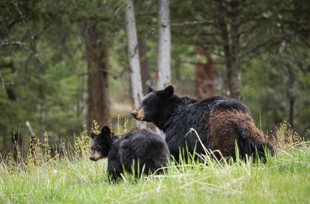 The American black bear lives in many parts of North America, with an estimated 300,000 of them in the US alone. They prefer forests but aren't too shy about heading into urban areas when need be.