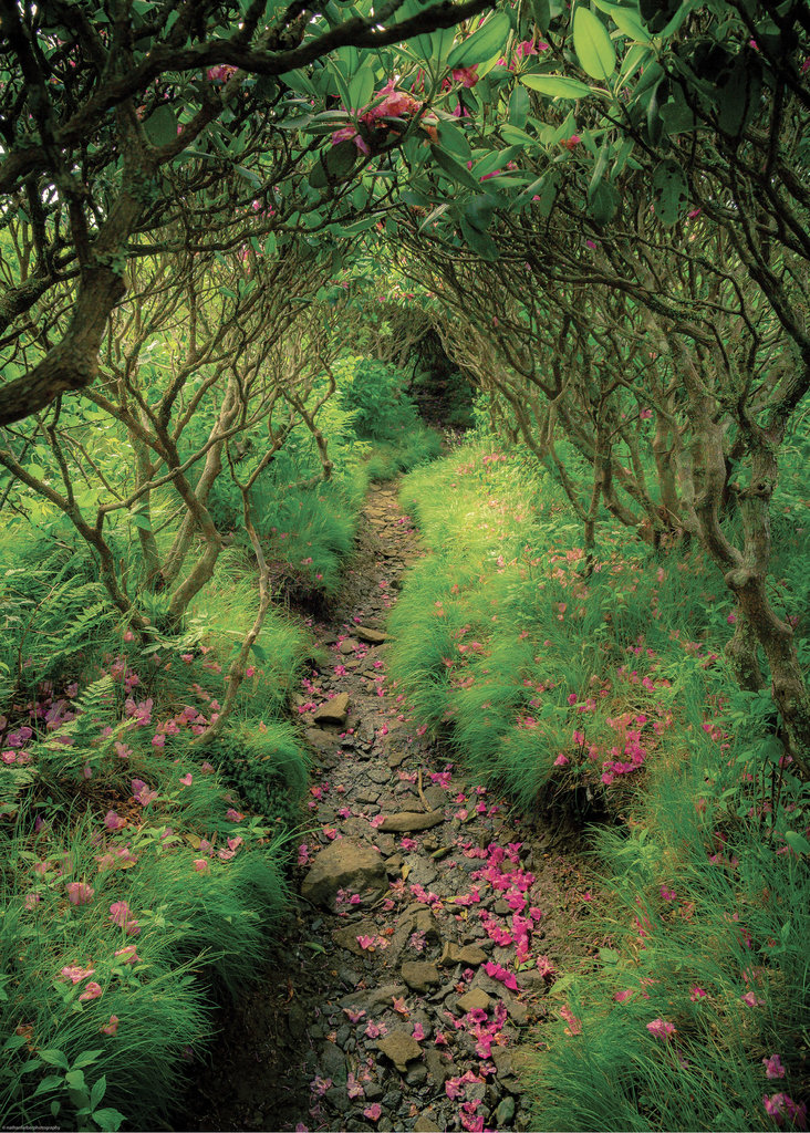AMATEUR CATEGORY  - Rhododendron Tunnel - Nathan Farber - Lush green punctuated by bright pink rhododendron petals make for an alluring path leading to Jane Bald in the Roan Highlands.