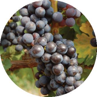 European grapes