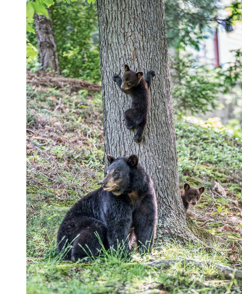 Finalist: Mother Bear and Cubs by Neil Jacobs (Professional category)
