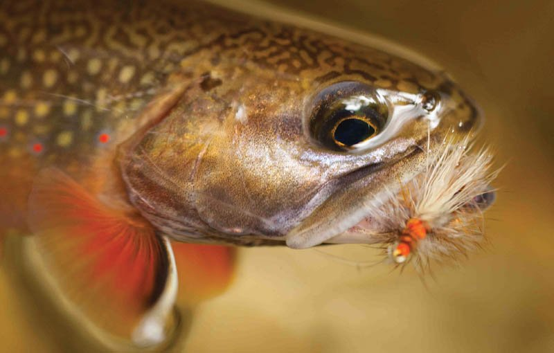 The brook trout, the most coveted among anglers, is the only species native to this region and is the focus of conservation efforts.