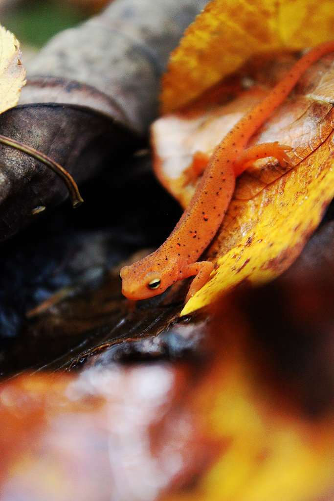 Honorable Mention: Fiery Newt by Rachel Crisp (Amateur category)