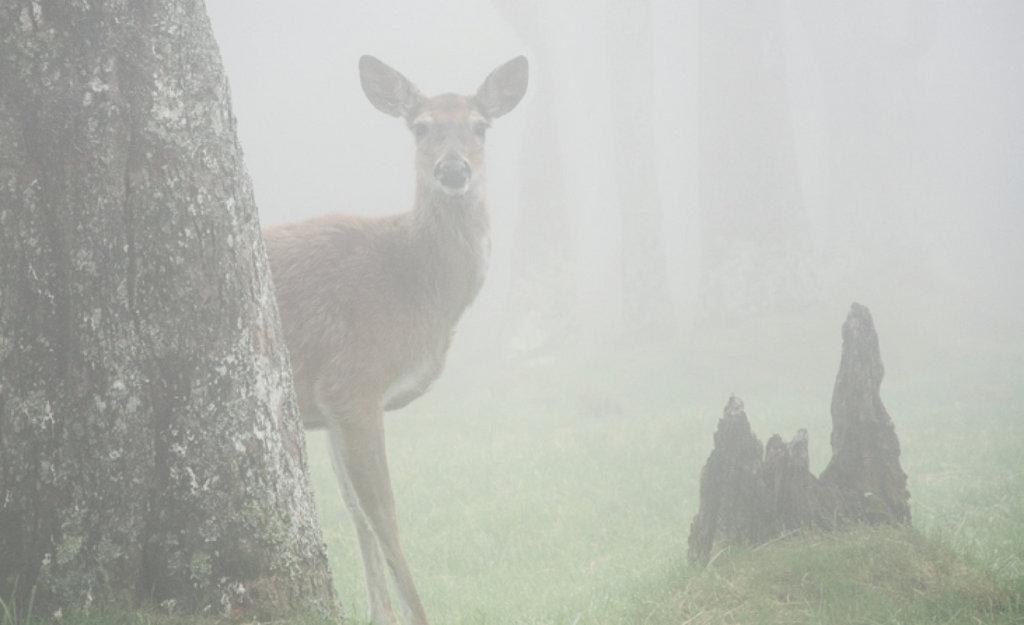 John Sperath, A deer at Grandfather Mountain Amateur category