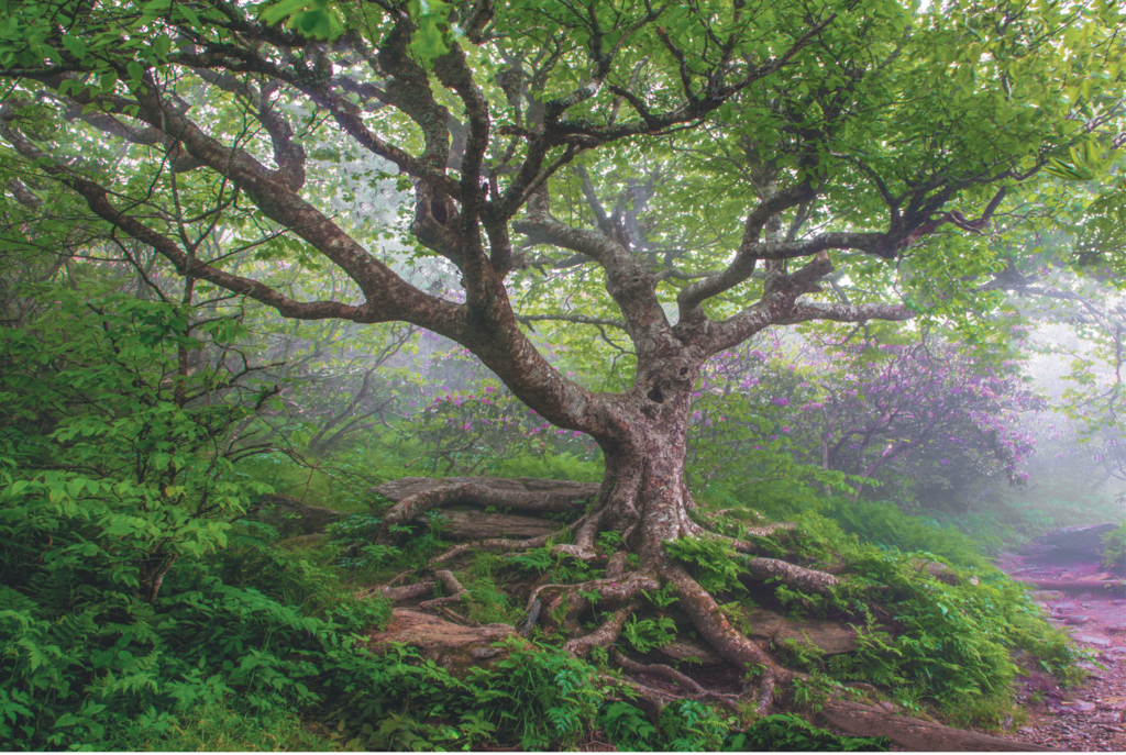 FINALIST - READERS' CHOICE WINNER - CRAGGY MIST - Michele Schwartz -This birch tree, shot here just as the rhododendrons were starting to bloom, greets hikers near the trailhead to Craggy Pinnacle along the Blue Ridge Parkway.  Professional category