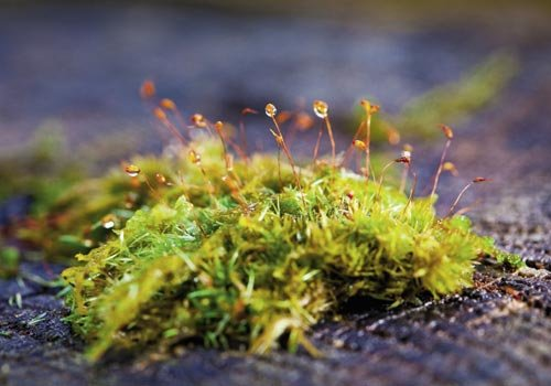 Enpodon seductrix in the sporophytic stage