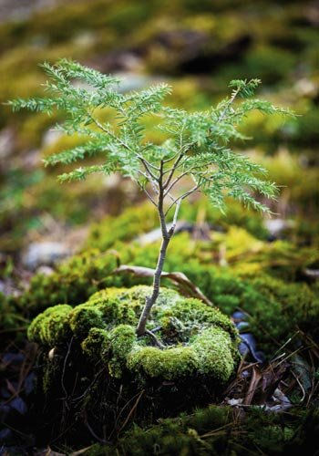 a Canadian hemlock grows on a pincushion and haircat moss-covered log