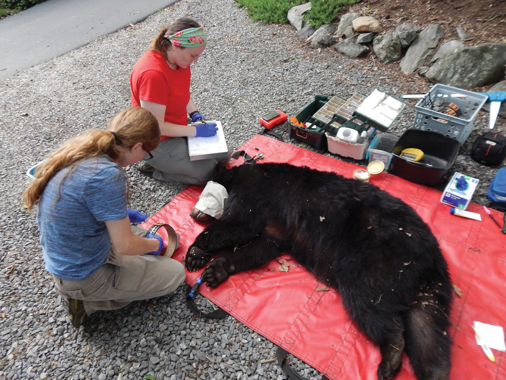 Researchers with the study take down vital stats from each bear they deal with, hoping to document key details about both its past and its future.