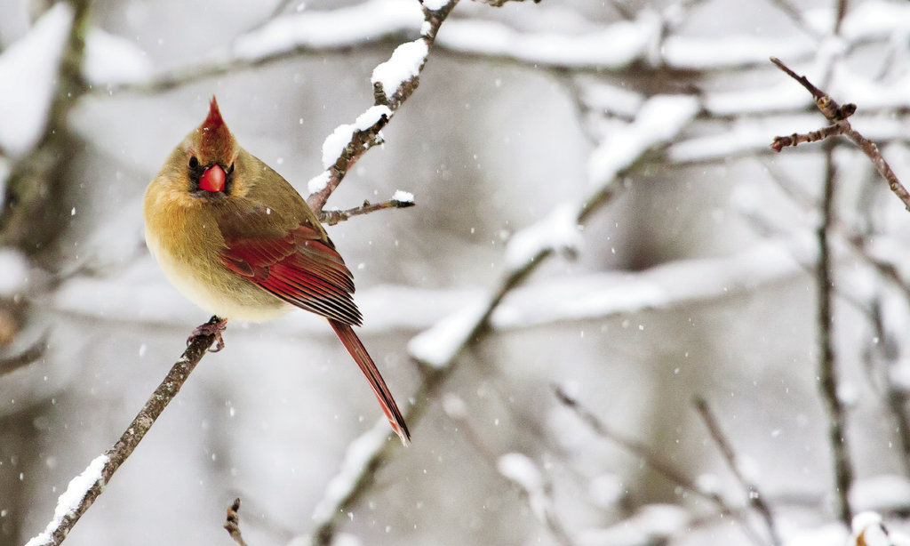 peaceful perch A cardinal brightens a white-washed world with  her crimson plumage.
