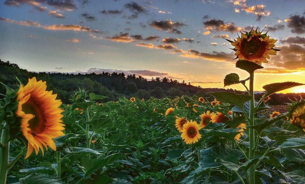 Finalist: Sunflowers by Joanna Postlethwaite (Amateur category)