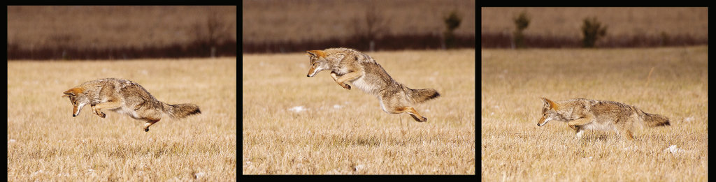 On the hunt  Coyotes, which migrated into the park in 1985, help control small animal populations.