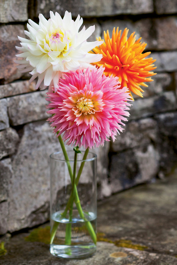 Dahlias are native to Mexico, where they are the official national flower. Botanists have identified at least 85 species of dahlias, while growers have created thousands of hybrids. Above, three  varieties grown by Buddy Dean