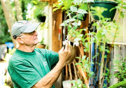 The gardener tends to a fuschia.