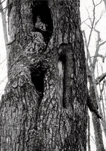 Three triangular blazes in a tree along Meigs Line. Photograph courtesy of Grateful Steps, INC.