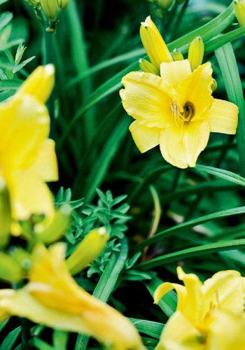 eenie weenie daylilies