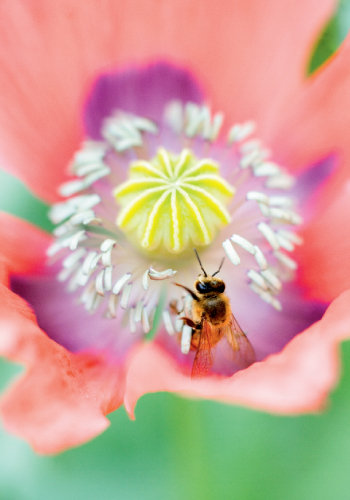 single-petaled poppy