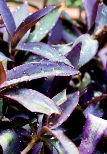 Setcreasea pallida or purple heart.