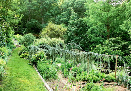 The 30-foot weeping blue atlas cedar  creates a screen between the vegetable  garden and pond below. The branches of a trident maple in the background are pruned to provide height contrast.