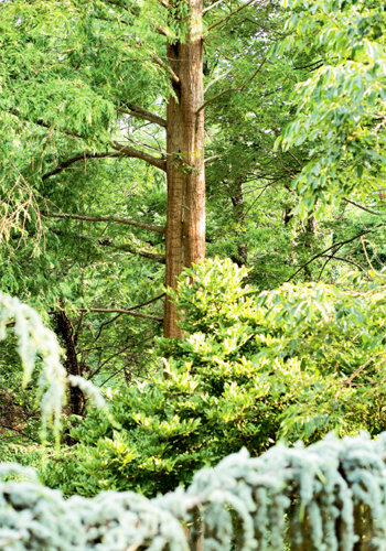 The dawn redwood, called shui-sa or water fir by the Chinese, is a relative of the giant sequoias of California. A weeping blue atlas cedar grows in the foreground.