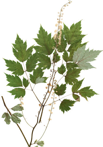 A sample of black cohosh. Flowers, leaves, fruits, stalks, stems, and roots are pressed and placed on vouchers, which also list coordinates of that specific plant's exact location.