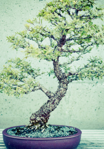 """Beautiful Form: Oshita shared his expertise with the N.C. Arboretum as it developed the Bonsai Exhibition Garden in 2005. To learn more, visit <a href=""""http://www.ncarboretum.org"""">www.ncarboretum.org</a>"""