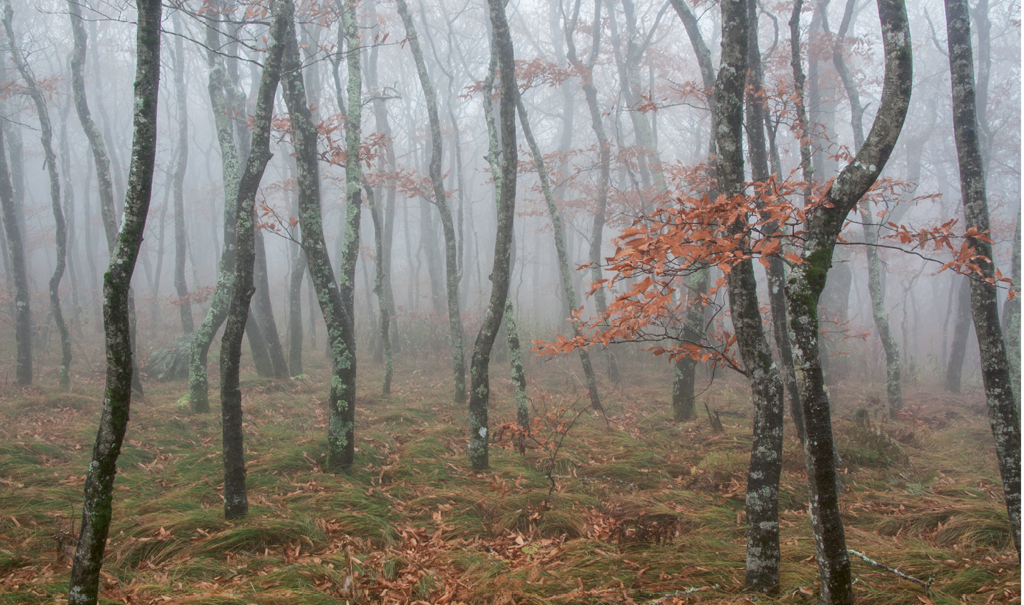 Joan McLean, A veil of fog amidst trees near Craggy Gardens off the Blue Ridge Parkway Amateur category