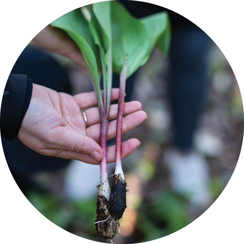 Wild ramps, an onion-like plant long harvested by Native Americans (and more recent arrivals), are among the nontimber forest products found in the two national forests.