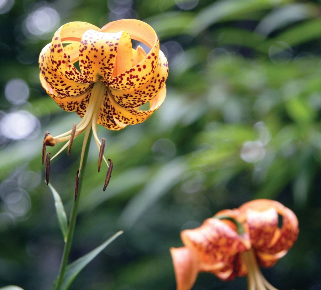 Turk's Cap Lily (Lilium superbum) At Elk Knob State Park in Watauga County. Photo by Forrest Smith
