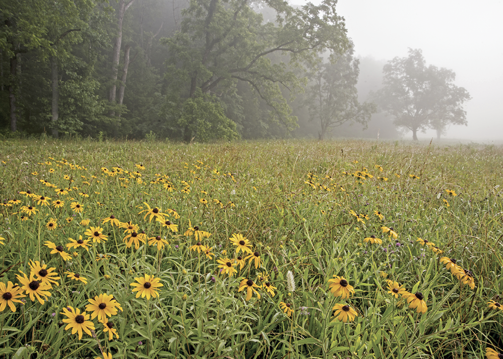 Black-eyed Susans in Great Smoky Mountains National Park. Photo by Betty Shelton