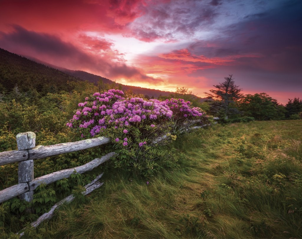 Rhododendron (Rhododendron catawbiense) Bursting with color to complement the sunset at Carver's Gap in the Roan Highlands. Photo by Dave Allen